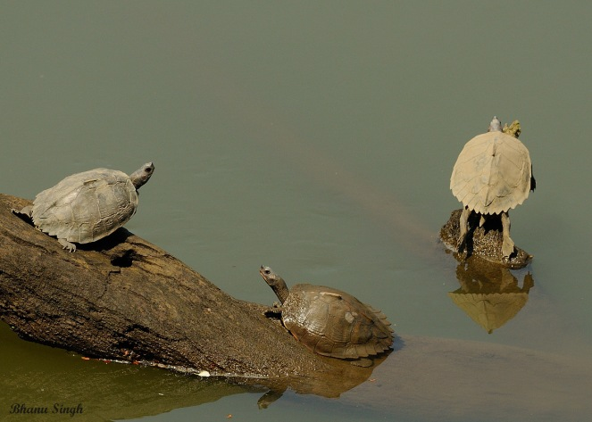 Indian Tent Turtle
