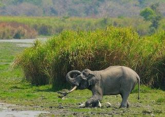 Asiatic Elephant taking mud bath
