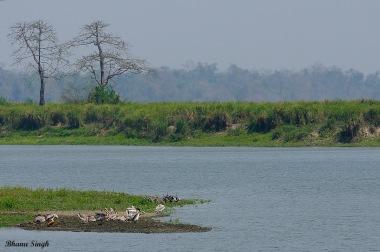 Spot-billed pelican colony