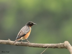 Spot-winged starling