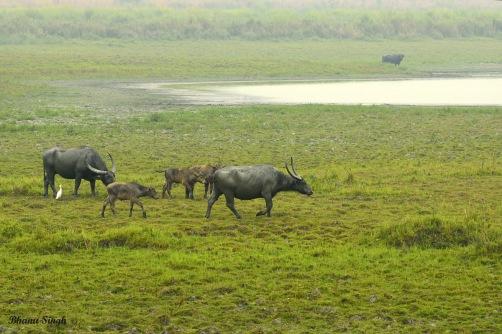 Wild Water Buffalo