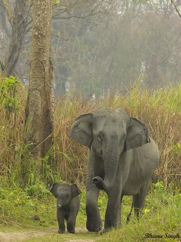 Asiatic Elephant, Kaziranga National Park