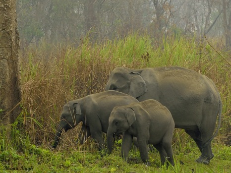 Asiatic Elephant herd