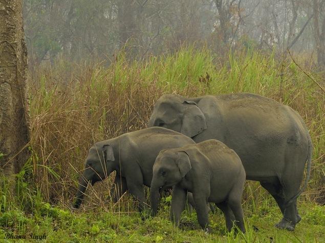 Asiatic Elephant herd