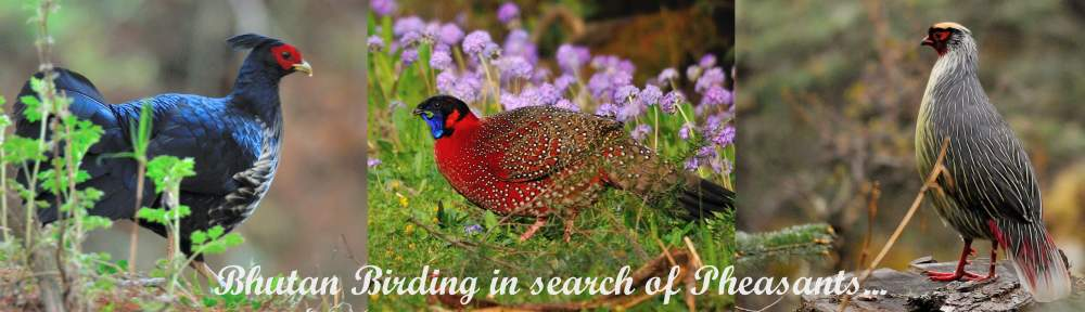 Bhutan Birding - in search of Pheasant