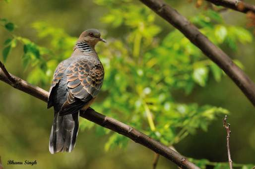 Oriental turtle dove at Paro Dzong