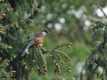 White-throated laughingthrush, near Chele La