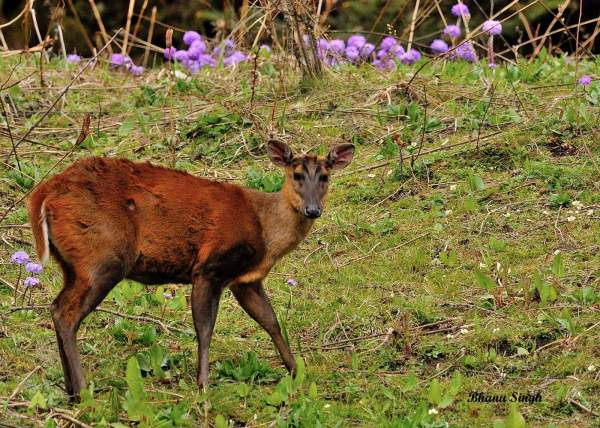 Barking deer (also known as Muntjac), near Chele La