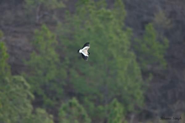 River lapwing, a near threatened bird species at Jigme Dorji National Park