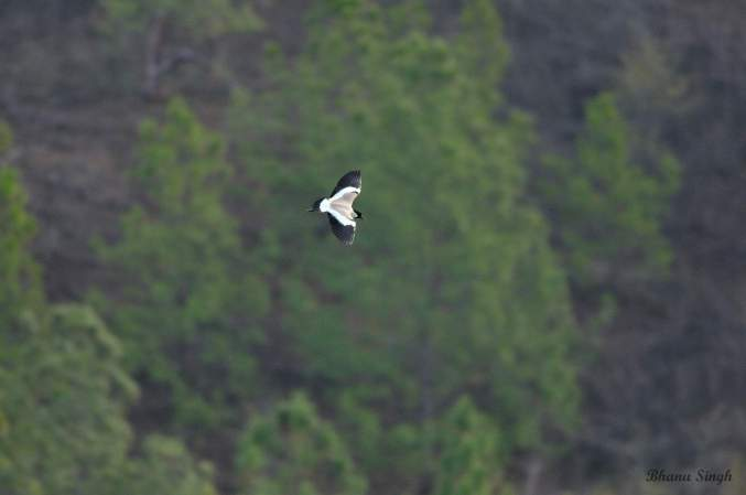 River lapwing, a near threatened bird.