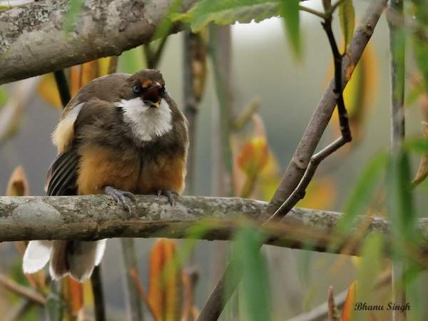 White-throated Laughingthrush at Dochula