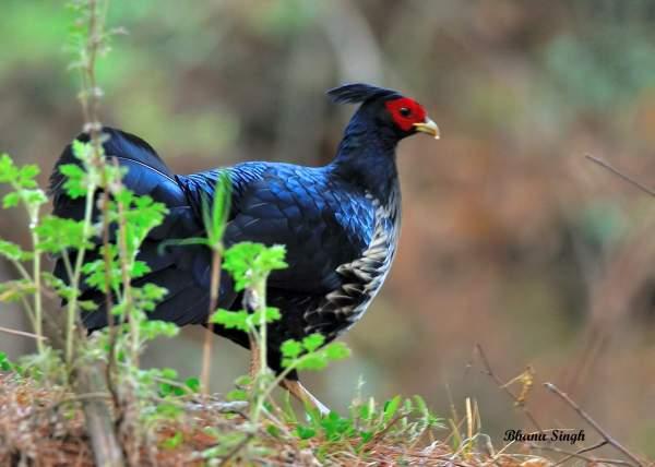 Kalij pheasant (male), near Chele La