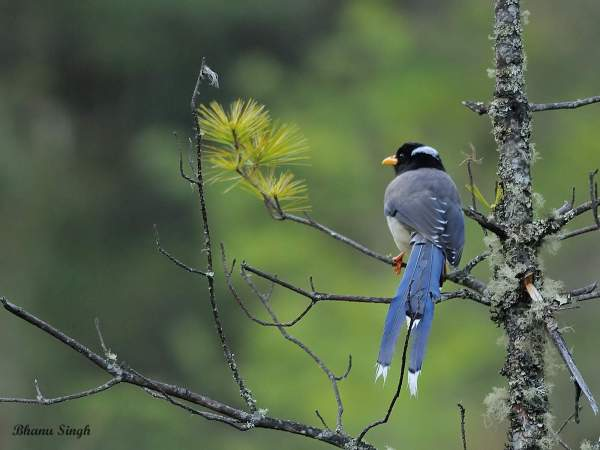 Yellow-billed Blue Magpie, near Chele La