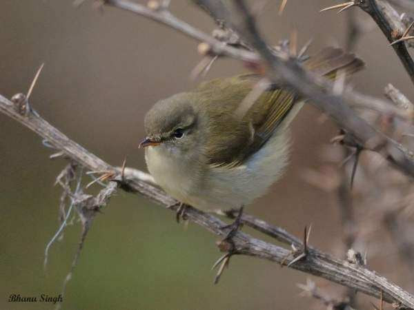 Buff-barred warbler, at Chele La