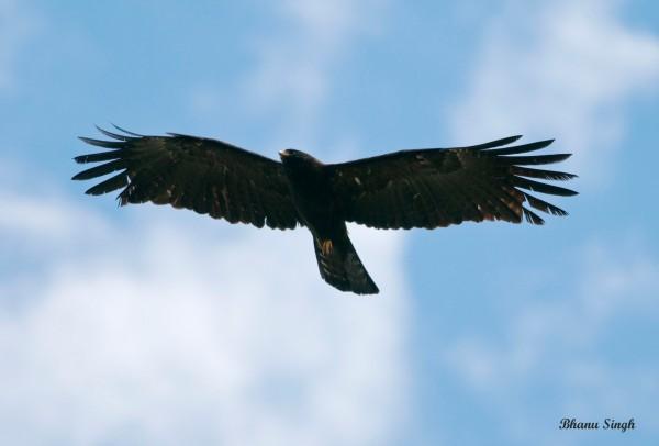 A low flying Black Eagle near Chele La