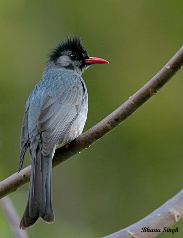Himalayan black bulbul, at Kichu Resort Punakha