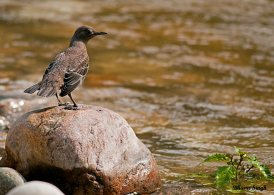 Brown Dipper at Jigme Dorji National Park