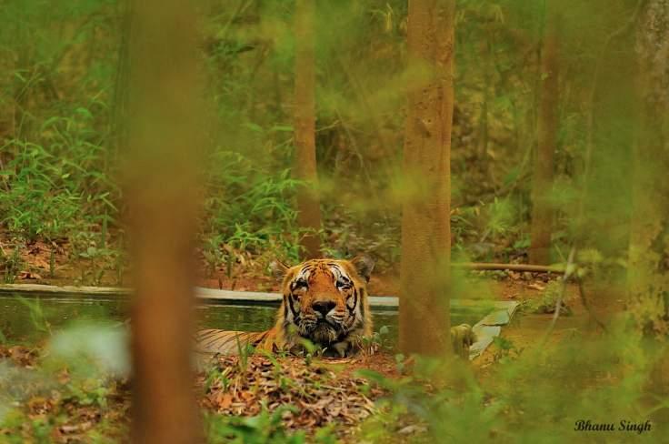 Waghdo, (male) Tiger Tadoba Andhari Tiger Reserve