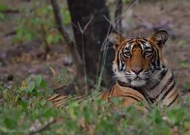 """""""Dholiya"""", sub-adult male cub of Noor (T39), Ranthambhore"""