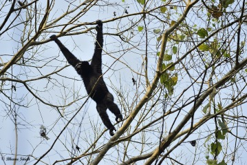 Male Hoolock Gibbons calling and ready to take a leap