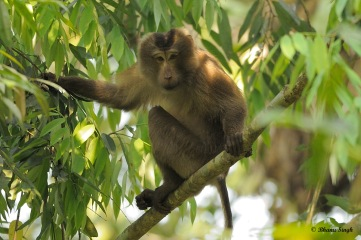 Pig-tailed Macaque is one among many other primates found in GWLS. This species falls under Vulnerable category.