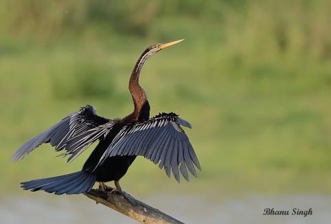 Darter or Snakebird