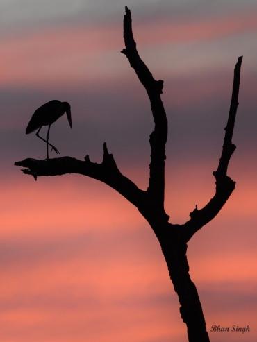Lesser Adutant Stork