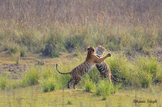 Tiger cubs at play..