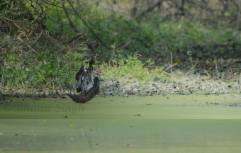 Critically endangered White winged Duck
