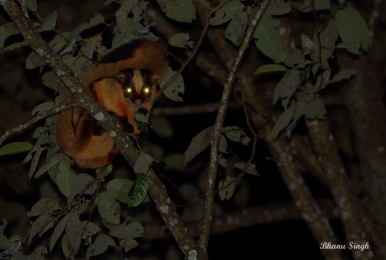 Critically Endangered, Bhutan giant flying squirrel