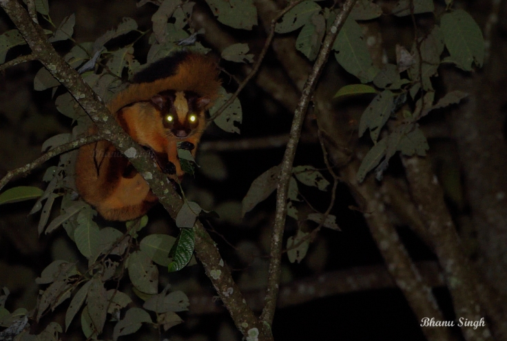 Bhutan giant flying squirrel