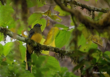 Wards's Trogon