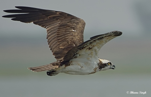 Sea Hawk or Osprey